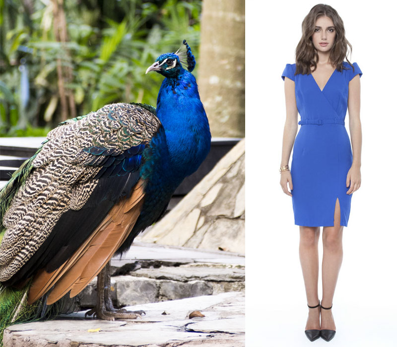 Forcast Linda Belt Shift Dress in peacock blue