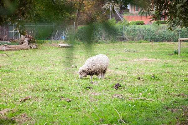abbotsford convent farm with sheep melbourne
