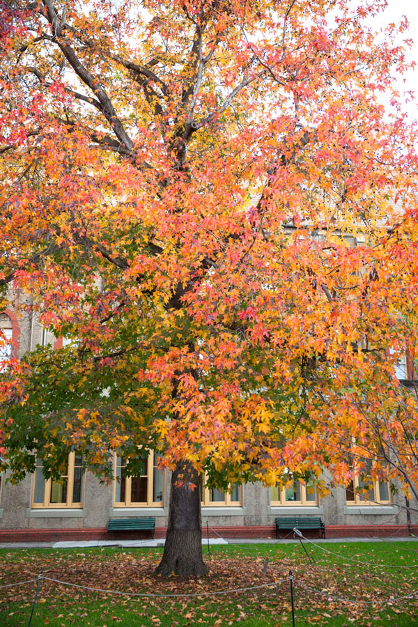 autumn tree at abbotsford convent melbourne